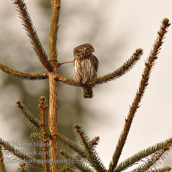 Glaucidium passerinum Sperlingskauz