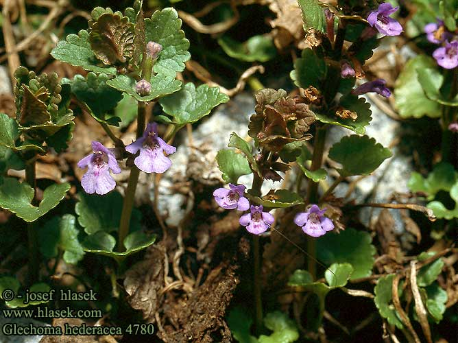 Glechoma hederacea Ground ivy ground-ivy Korsknap Maahumala