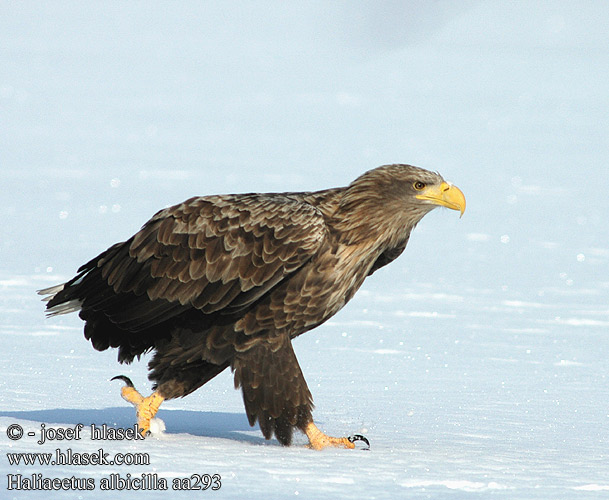 White-tailed Eagle European Sea Gray Seeadler