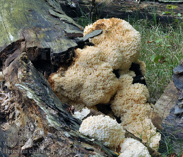 Hericium clathroides ramosum coralloides Coral tooth