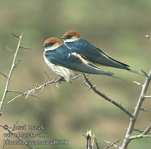 Hirundo cucullata Greater Striped-Swallow Striped Swallow