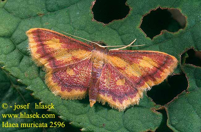 Idaea muricata Purple-bordered Gold Rämekulmumittari Geel-purperen spanner Mocsári pirosaraszoló Purpurstreifiger Moorheidenspanner Krocznik zorzak Piadica červená Žlutokřídlec rudoskvrnný Малая пяденица красноватая Purpurengmåler Phalène aurorale Rödpudrad lövmätare ベニヒメシャク