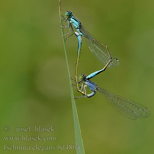 Blue-tailed Damselfly Common Bluetail Stor Farvevandnymfe