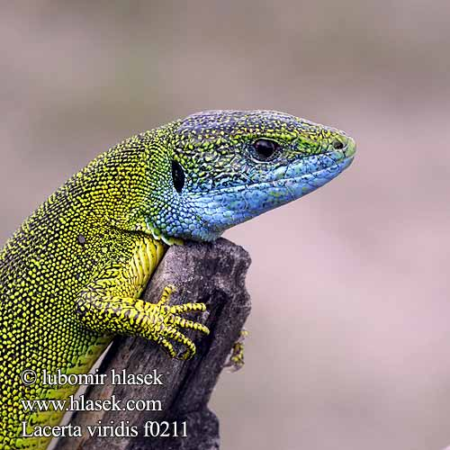 European Green Lizard Lagarto verde Зелёная ящерица Ramarro Ještěrka zelená Yeşil kertenkele Lézard vert Jaszczurka zielona Jašterica zelená Zöld gyík Зелен гущер Gurlaz Musker berde Oostelijke smaragdhagedis Lausèrt Navadni zelenec Зелембаћ Gusterul Ящірка зелена Πρασινόσαυρα Obični zelembać Lacerta viridis Östliche Smaragdeidechse
