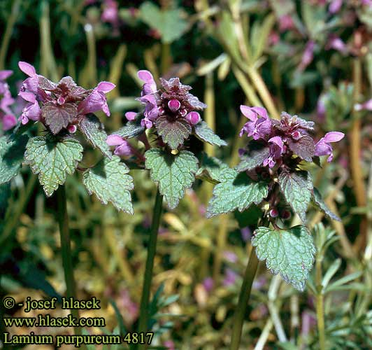 Lamium purpureum Purple Deadnettle Red Dead-nettle Rød tvetand
