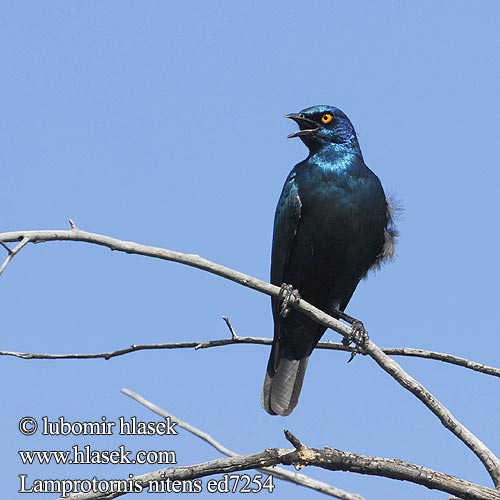 Rotschulter Glanzstar Blyszczak lsniacy Mirlo metálico Cabo Glansstare glansstaer Kleinglansspreeu アカガタテリムク Leskoptev savanová Lamprotornis nitens Cape Glossy-Starling Red-shouldered Rødskuldret Glansstær Loistokottaraiset Choucador épaulettes rouges Roodschouder Glans spreeuw Storno Splendente Capo splendido alirosse
