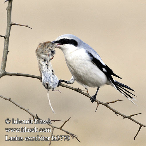 Great Grey Shrike Raubwürger Pie-grièche grise