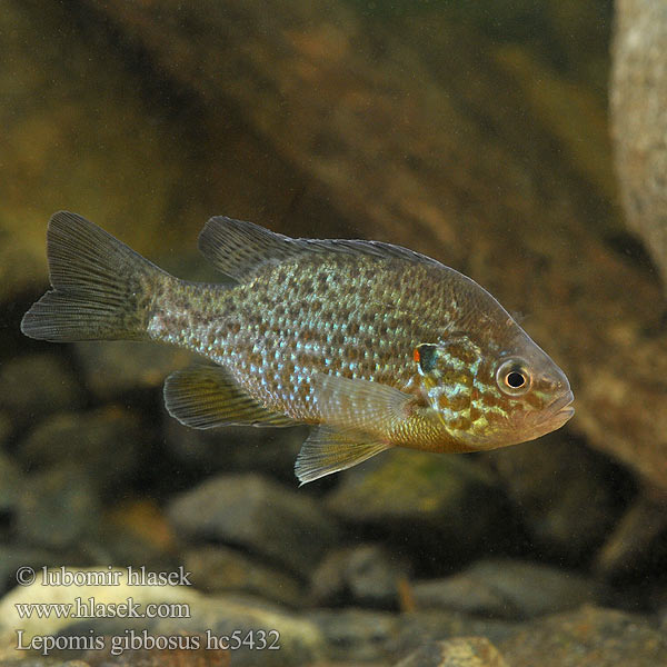 Slnečnica pestrá Lepomis gibbosus Slunečnice pestrá Persico sole Gemeiner Sonnenbarsch Perca sol Bass słoneczny Zonnebaars Naphal Pumpkinseed Pond perch Common sunfish Punkys Crapet-soleil Perche arc-en-ciel Слънчева рибка Peix sol Sunčanica Paprastasis saulešeris Обыкновенная солнечная рыба Sončni ostriž Сунчаница риба Aurinkoahven Solabborre Царьок 駝背太陽魚