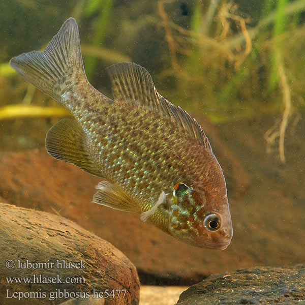Persico sole Gemeiner Sonnenbarsch Perca sol Bass słoneczny Zonnebaars Naphal Pumpkinseed Pond perch Common sunfish Punkys Crapet-soleil Perche arc-en-ciel Слънчева рибка Peix sol Sunčanica Paprastasis saulešeris Обыкновенная солнечная рыба Sončni ostriž Сунчаница риба Aurinkoahven Solabborre Царьок 駝背太陽魚 Slnečnica pestrá Lepomis gibbosus Slunečnice pestrá