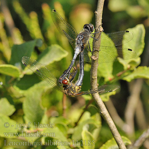 Leucorrhinia albifrons Eastern White-faced Darter