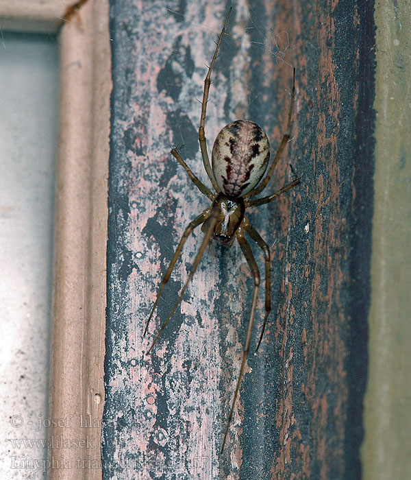 Linyphia triangularis Herfsthangmatspin Common Hammock-weaver