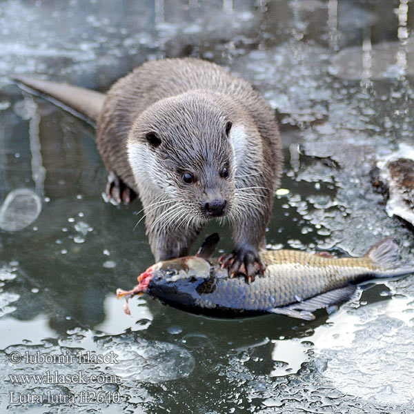 Lutra lutra European otter Loutre Europe Fischotter