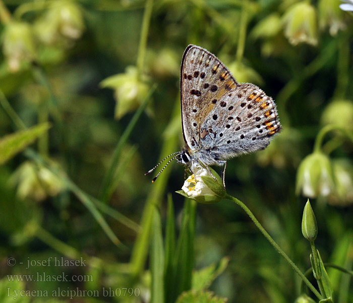 Lycaena alciphron Heodes Purple-shot Copper