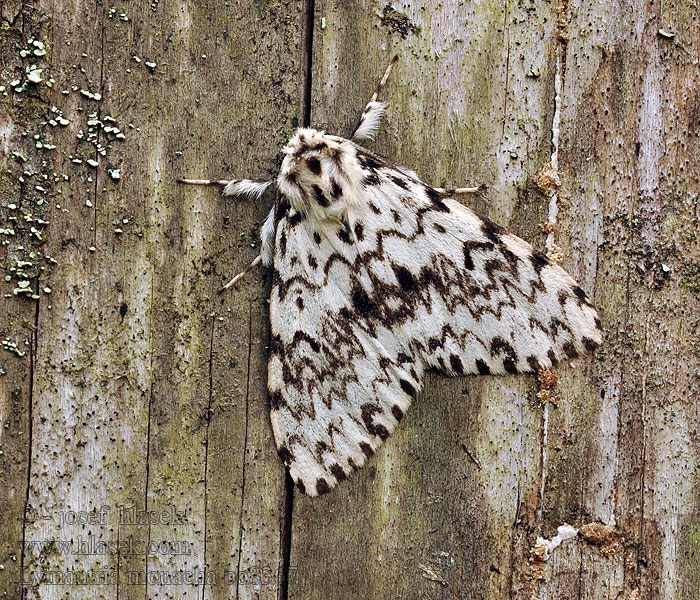 Black Arches Lymantria monacha