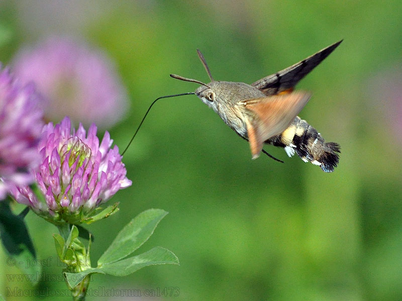 Humming-bird Hawk-moth Macroglossum stellatarum