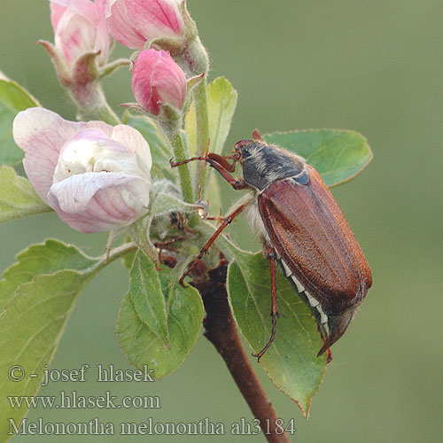 Melolontha melolontha May Beetle Cockchafer Adi mayıs