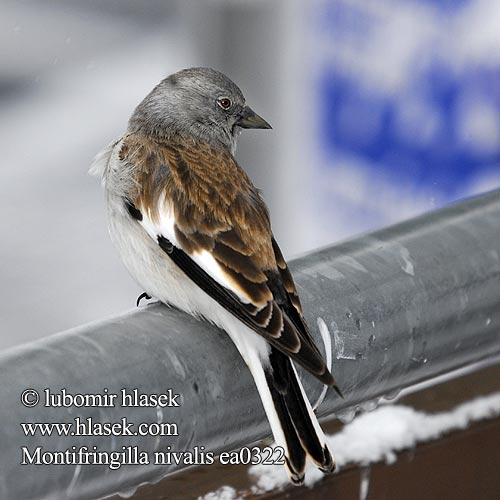 White-winged Snowfinch śnieżka Snöfink Снежна чинка
