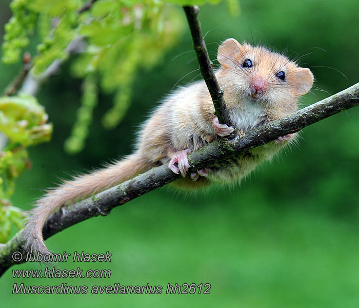 Muscardinus avellanarius Common Dormouse Muscardin Haselmaus