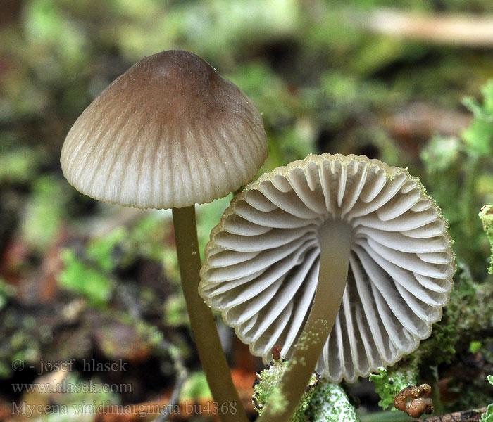 how to get mycena cave mushrooms