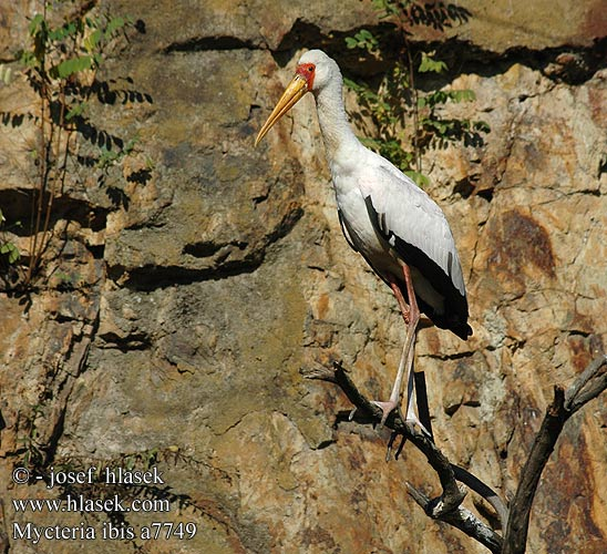 Mycteria ibis Yellowbilled Yellow-billed Stork Afrikansk