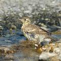 Anthus_campestris_ae7795