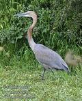 Ardea_goliath_fb5459