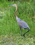 Ardea_goliath_fb5462