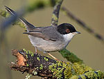 sylvia_melanocephala_mc8584