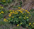 Caltha_palustris_bj2393