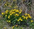 Caltha_palustris_bj2406