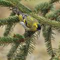 Carduelis_spinus_be8877