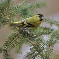 Carduelis_spinus_be9275