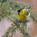 Carduelis_spinus_be9573