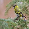 Carduelis_spinus_be9695