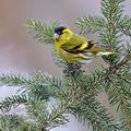 Carduelis_spinus_be9716