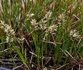 Carex_davaliana_bt4807