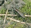 Cicindela_germanica_ac1339