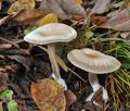 Clitocybe_metachroa_bm8633