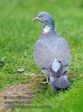 Columba_palumbus_ha5800