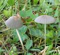 Coprinus_plicatilis_al9836