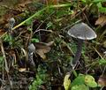 Cortinarius_flexipes_bo7481