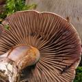 Cortinarius_purpurascens_bm7953