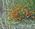 Ephedra_major_bh0360