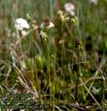 Eriophorum_gracile_8156