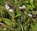 Eriophorum_gracile_bt9695