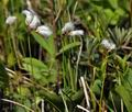Eriophorum_gracile_bt9699