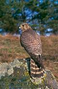 Falco_columbarius_2162