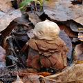 Geastrum_rufescens_be4878