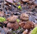 Geastrum_rufescens_be4882
