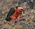 Gypaetus_barbatus_bp9641